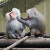Apen in dierenpark Amersfoort
